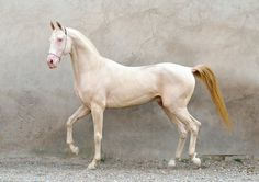 MYRAS (Salыr - Mzyury) | 2002 Akhal-Teke stallion Most Beautiful Horses, All The Pretty Horses, Animals Beautiful, Nature Animals, Animals And Pets, Funny Animals, Akhal Teke Horses, Breyer Horses, Golden Horse