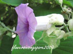 Flowers in Singapore: Argyreia nervosa