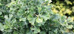 Fächerblattbaum 'Mariken' als Hochstamm - Ginkgo biloba 'Mariken' -Sth