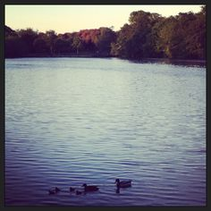 Baby duckies