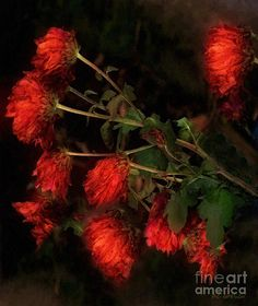 """""""Glowing Still"""" ~ © 2010 RC deWinter ~ All Rights Reserved ~ The beauty of winter mums."""