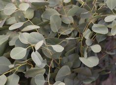 Eucalyptus Popolus