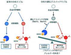 ニュース「白血球の分化を制御する仕組み発見」