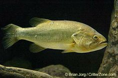 Largemouth bass - click to see all state fish