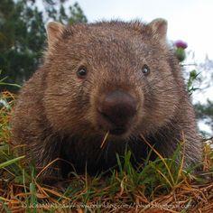 Wombat Pictures, Happy Animals, Funny Animals, Cute Wombat, Australia Animals, Super Cute Animals, Puppies And Kitties, My Animal, Spirit Animal