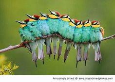 Caterpillar or a bunch of singing birds?