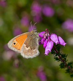Small Heath nectaring on Bell Heather. Matt Berry, British Wildlife, Moth, Berries, Butterfly, Beautiful, Surrey, Britain, Ireland