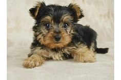 Why Don't a Yorkie's Ears Stand Up? | eHow