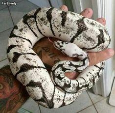 Big Ball Python