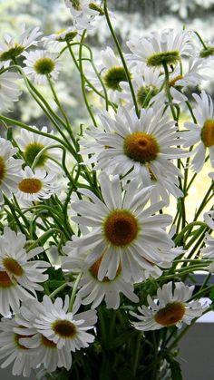 Bouquet Box, Daisy Love, White Flowers, Daisy Flowers, Flower Photos, Planting Flowers, Plants, Daisies, Beautiful