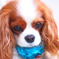 Abbey bella cavalier - Hi there. I hope that your day is amazing.