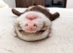 Baby Ferrets, Funny Ferrets, Pet Ferret, Cute Little Animals, Cute Funny Animals, Dou Dou, Photo Chat, Pets 3, Cute Creatures