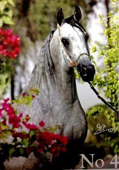 Deva's form, an Arabian Horse
