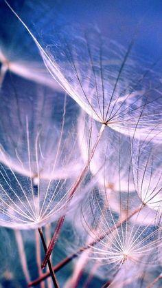 White Dandelions