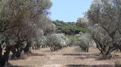 Olivenhaine auf Iles de Porquerolles (Provence -Côte d'Azur)