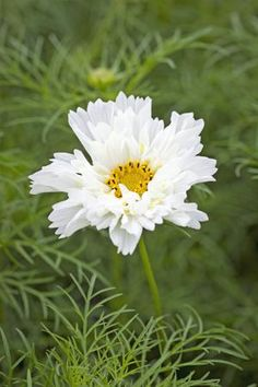 Cosmos bipinnatus 'Psyche White'. 3-3 1/2', reseeds.  Cut & come again. Pinch out tips to encourage bushier plants. Full sun.