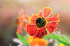 Fotografía Helenium - Moerheim Beauty por B N en Spring Flowers, Lady, Nature, Plants, Pictures, Photography, Beauty, Summer 2015, Twitter
