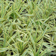 Palmlilie - Yucca gloriosa 'Bright Star'
