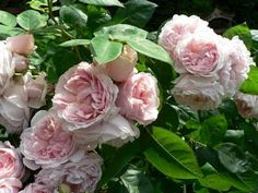 """Roses at Wedgwood House and Gardens: MY ROSES - """"St to Ta"""""""