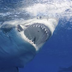 Find out what's fact and what's fiction concerning the world's most notorious shark. See why great whites have more to fear from humans than vice versa.