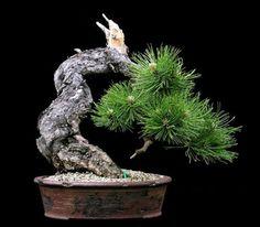 The Other Black Pine | Bonsai Bark