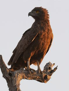 Brown Snake Eagle (Circaetus cinereus) is a species of bird of prey in the Accipitridae family. It is found throughout sub-Saharan Africa.
