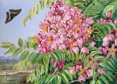 Flowers of a Cassia with a Tree of the Same in the Distance, with Bornean Butterflies - Marianne North paintings