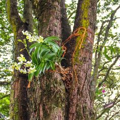 Show de beleza neste ano! Para os amantes de plantas, a ExpoZebu deste ano anexou orquídeas coloridas de várias espécies nos topos das árvores da alameda de entrada da sede da ABCZ. Ao passar por lá, não deixe de olhar para a copa das árvores!  #NovidadeExpoZebu #ExpoZebu2016 #orquideas #Novidades #Beleza #belezanatutal