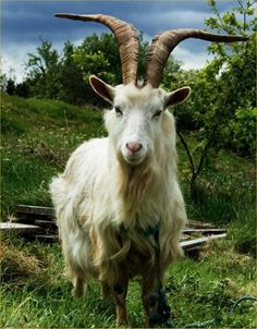 Hey I'm a cool goat. Pin me onto your goat board.