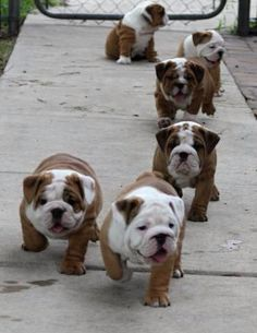 Bulldog puppy dogs!!!Give me all of them!!!AAAAAWWWW I WOULD DIE also in my future home,I'd like a male named King