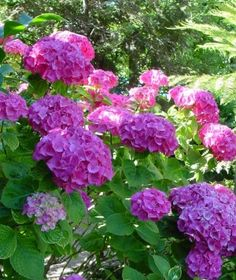 how to cut back a hydrangea bush
