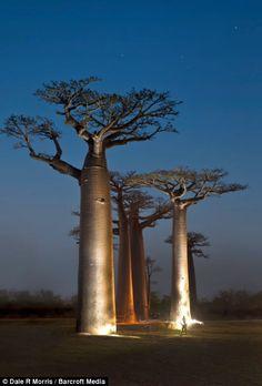 Madagascar, Babab Trees