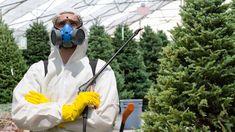 Giftige Nadeln: Pestizide in Weihnachtsbäumen