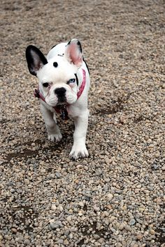 french bulldog puppy  by canined.com dog pictures