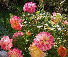 RunoMaalari: marraskuuta 2016 Beautiful Roses, Home And Garden, Twitter, Plants, Pictures, Life, Photos, Photo Illustration, Planters