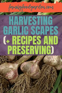 For garlic lovers, there is a variety to enjoy. Garlic falls under one of two categories: softneck and hardneck. The second category includes a flowering stem that is called scapes, which typically flowers. If you're timing is right you can harvest garlic scapes before they flower. Family Food & Garden will show you how. Also learn how to preserve them and follow our recipes to enjoy this item for numerous dishes. #harvestgarlicscapes #garlicscapesrecipes #preservegarlicscapes When To Harvest Garlic, Scape Recipe, Harvesting Garlic, Healthy Fruits And Vegetables, Eat Seasonal, Fermented Foods, New Flavour, Family Meals, Whole Food Recipes