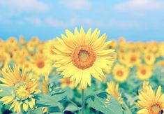 hero-sunflower-meanings