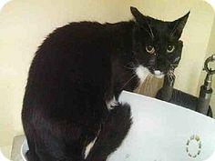 Staten Island, NY - Domestic Shorthair. Meet ZACHARY a Cat for Adoption.