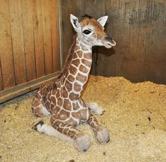 Come Meet the New Baby Giraffe at the Great Plains Zoo! ~ Sioux Falls, South Dakota