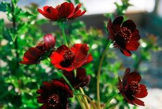 This distinctive Cosmos has flowers that resemble those of a single-flowered Dahlia. Plants bloom all summer. Mulch in colder areas or simply treat as an annual. Cosmos Flowers, Rare Flowers, Bonsai, Diy Fleur, Chocolate Cosmos, Garden Supplies, Dahlia, Garden Design, Daisy