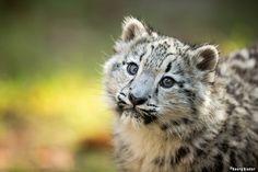 snowleobaby - young snow leopard
