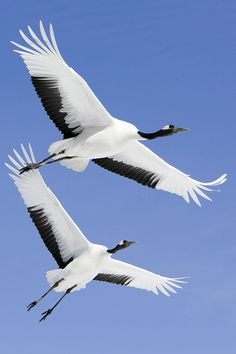 tsuru bird flying - Google Search