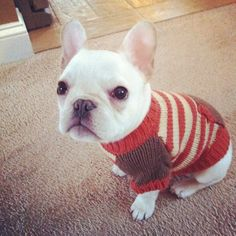 French Bulldog Puppy Ready for the snow.