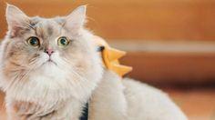 Teneri cuccioli Notizie: Bone Bone, il gigantesco gatto star del web/VIDEO