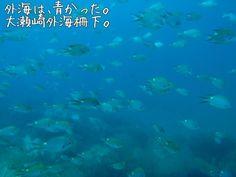 School of Pearl-spot chromis.   OOSEZAKI IZU Japan
