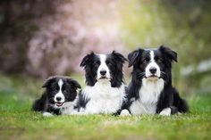 Border Collie: the Most Popular Dog in Every State. Border Collie Puppies, Collie Dog, Terrier Puppies, Dogs And Puppies, Doggies, Sheep Dogs, Best Dog Food, Best Dogs, Border Collie Welpen