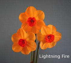 """Lightning Fire"" Exhibition Bulbs from Mitsch Daffodils"