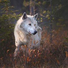 Grey wolf (Canis lupus) in evening light. Photo by npekonen Wolf Husky, Wolf Pup, Wolf Photos, Wolf Pictures, Canis Lupus, African Wild Dog, Wolf Spirit Animal, Wolf Love, Wild Wolf