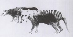One of only two known photos of a Thylacine with a distended pouch, bearing young. Adelaide Zoo.