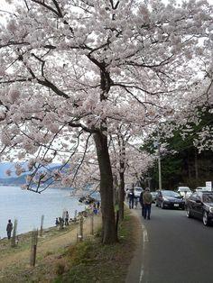 Sakura Cherry Blossom  Spring 2014 in Japan Shiga Ken